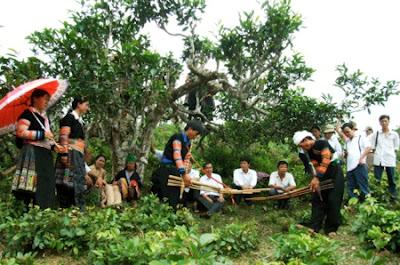 trà Shan Tuyết Cổ ở Suối Giàng
